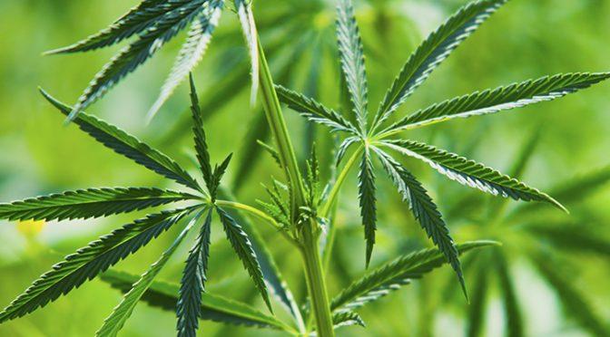 Cannabis or Bust?